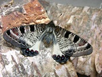 False Apollo (Archon apollinus bellargus)